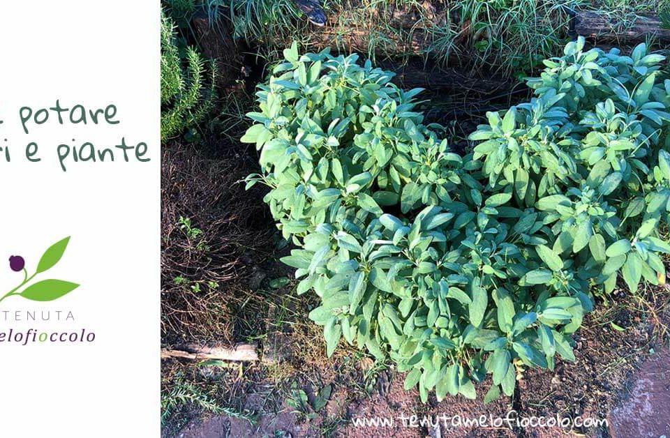 come potare alberi e piante tenuta melofioccolo napoli